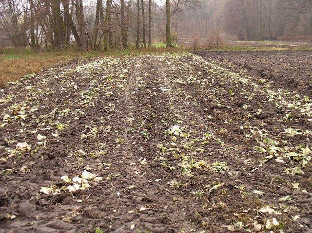 Kapuściane pole po żniwach