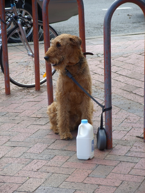 pies mleczarza