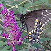 Eastern tiger swallowtail - on