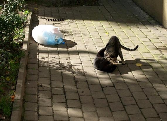 koty warszawskie