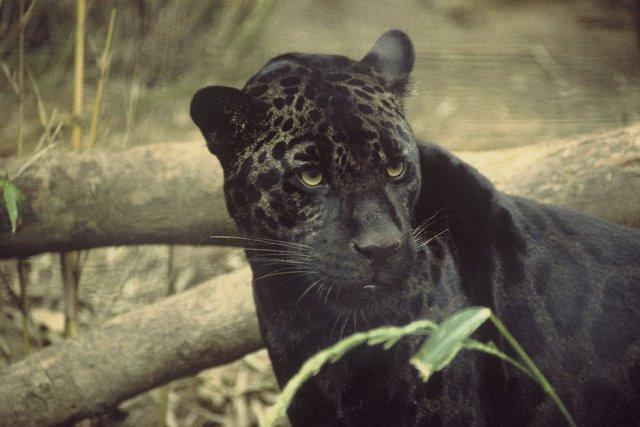 800px-Black_jaguar