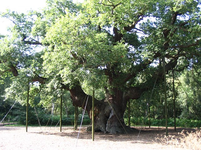 Oldest_tree_in_Sherwood_Forest_park
