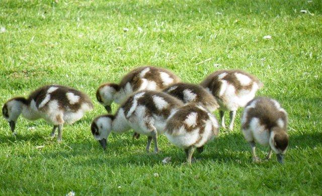 gąski egipskie, gęsi egipsie, egiptian geese