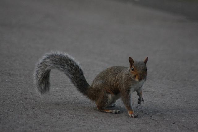 Wiewiórka w Regent's Park