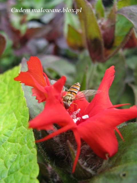 bzyg prążkowany