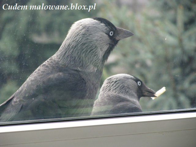 kawki za oknem