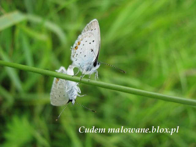 modraszkowe sploty