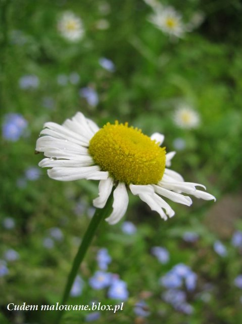 rumian w ogrodzie