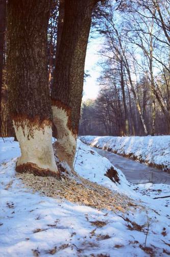 0620bobr i drzewo1