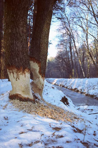 10 bobr i drzewo