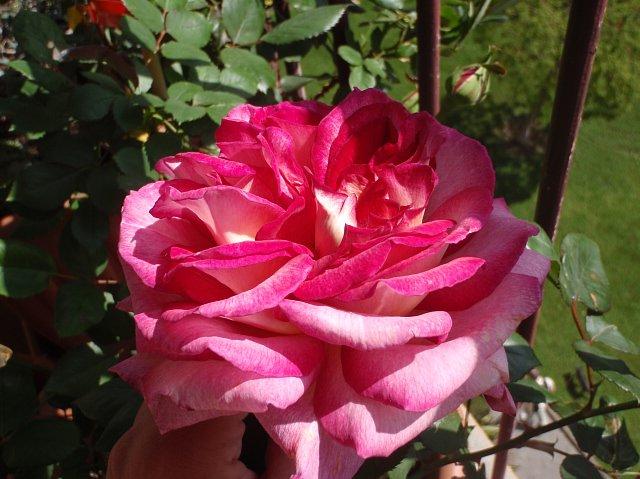 róże z Antibes
