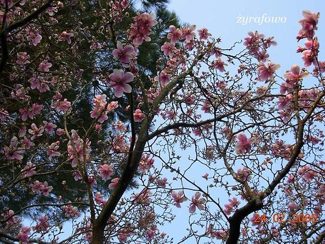 rzymska magnolia_01