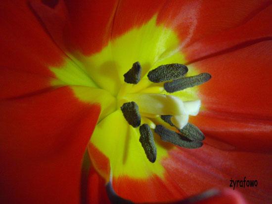 tulipan_01