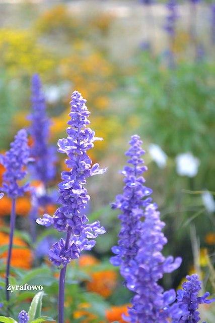 kwiaty 2012_40