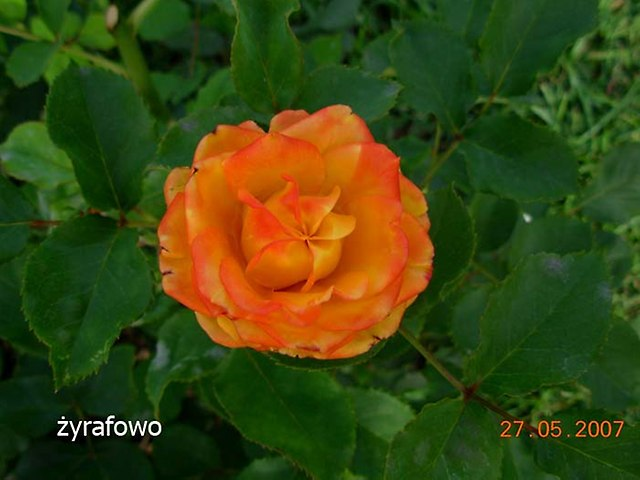 kwiaty_18