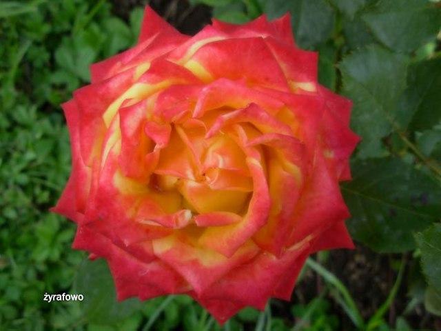 kwiaty_52