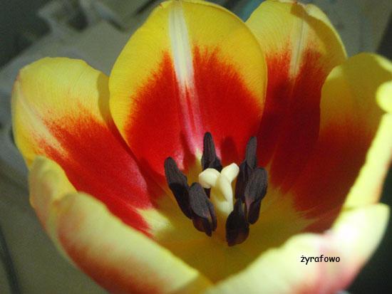 tulipan_03