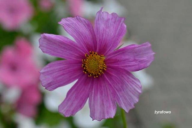 kwiaty 2012_04