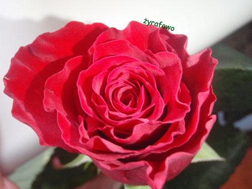 rocznicowa roza 01