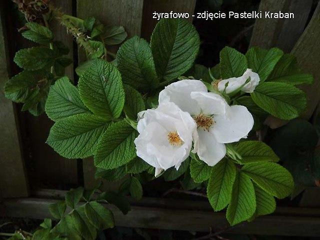 kwiaty 2012_19