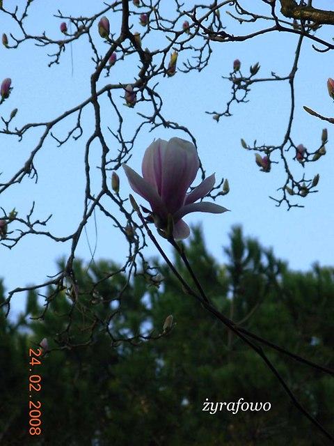 rzymska magnolia_02