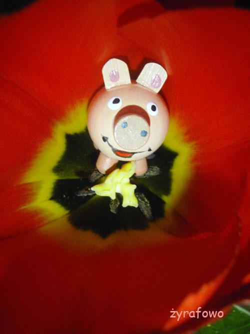 swinka w tulipanie