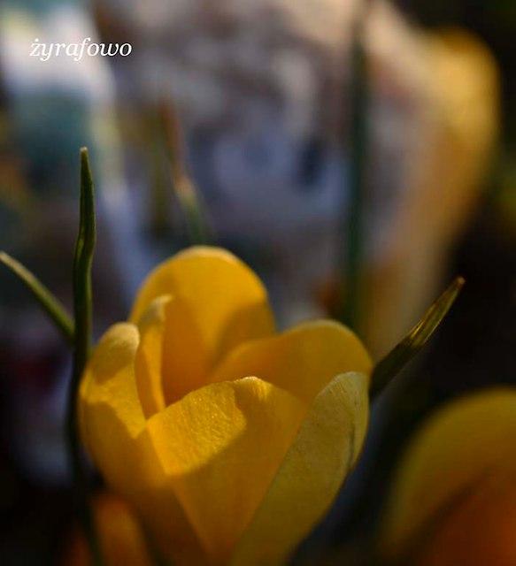 krokusy 2014_24