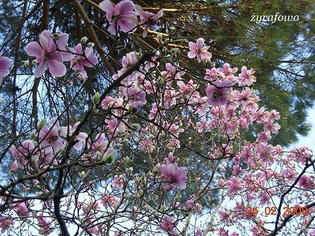 rzymska magnolia_04