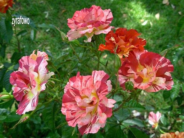 kwiaty_50