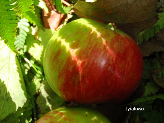 jablka_01