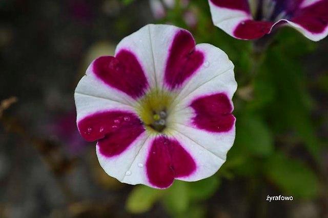 kwiaty 2012_22