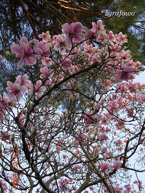 rzymska magnolia_03