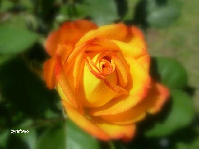kwiaty_51