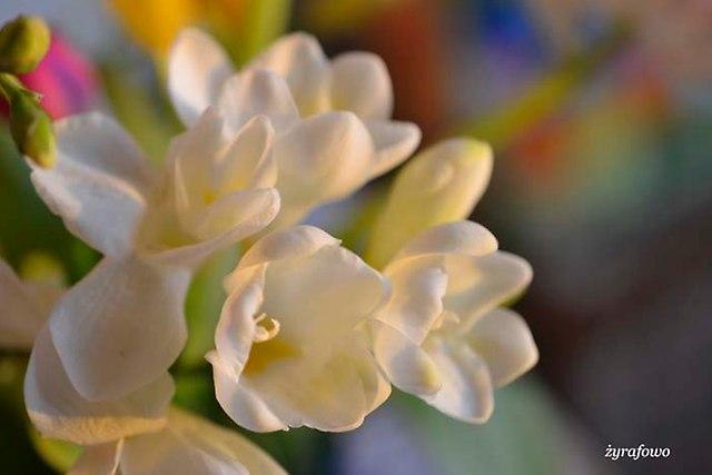 kwiaty 2014_24