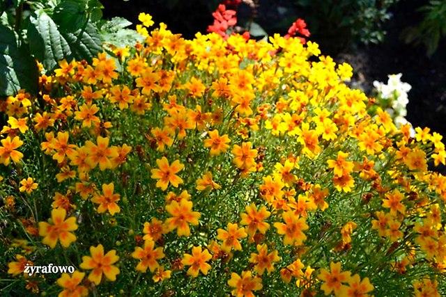 kwiaty 2012_28
