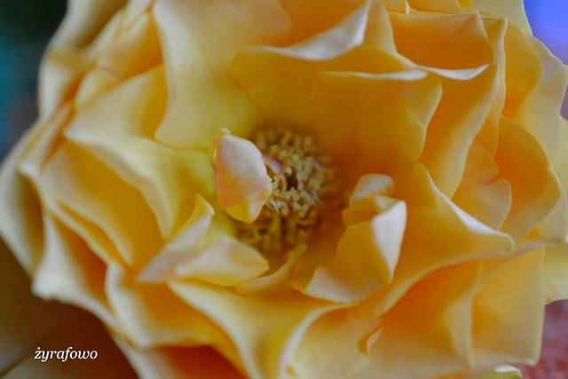 roza_09