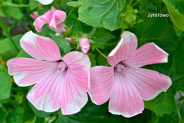 kwiaty 2012_24