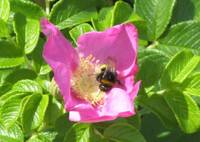 Bąk i kwiat dzikiej róży