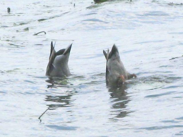 Pożywiające się dwa kaczory