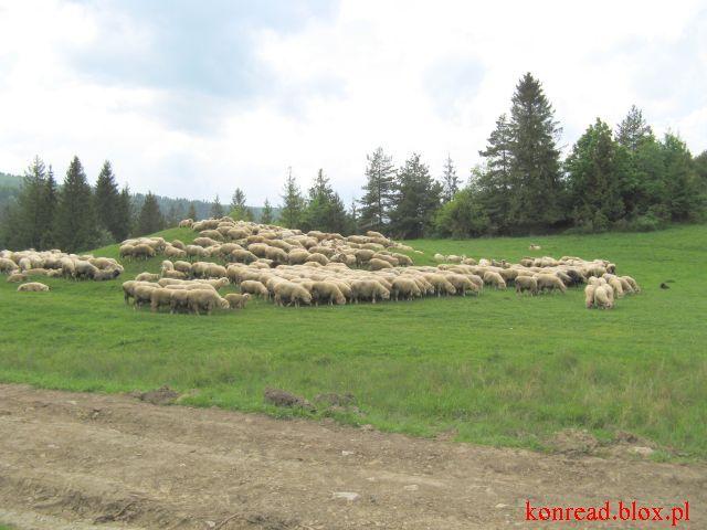 Jaworki - owce