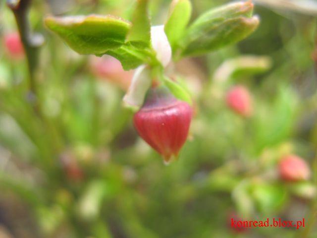 Beskid Sądecki - kwitnące borówki