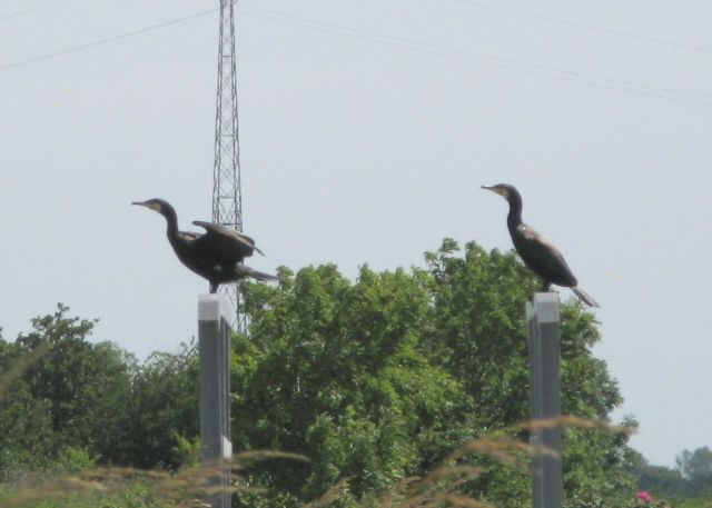 Ptasi Raj - kormorany