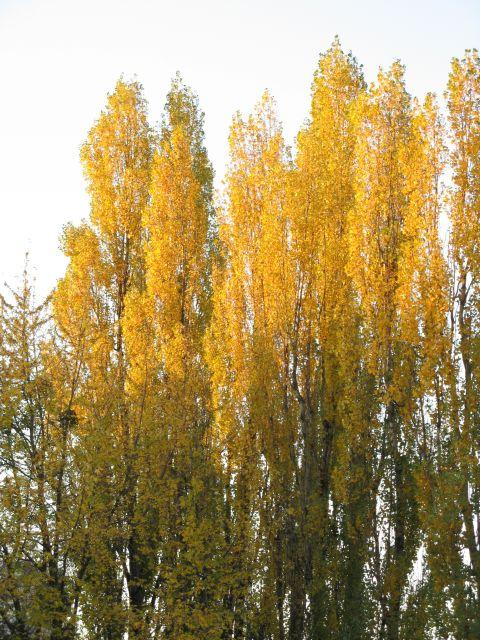 Topole w jesiennym słońcu