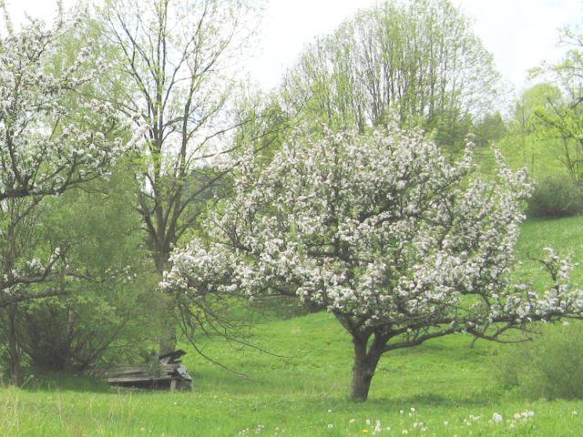 Beskid Sądecki - kwitnące jabłonie pod koniec maja