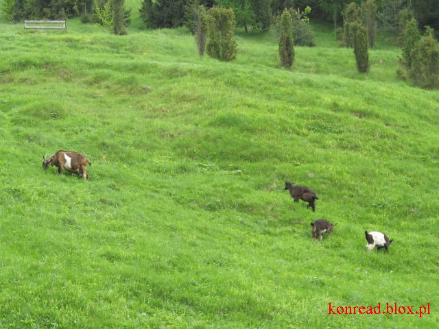 Pasące się kozy