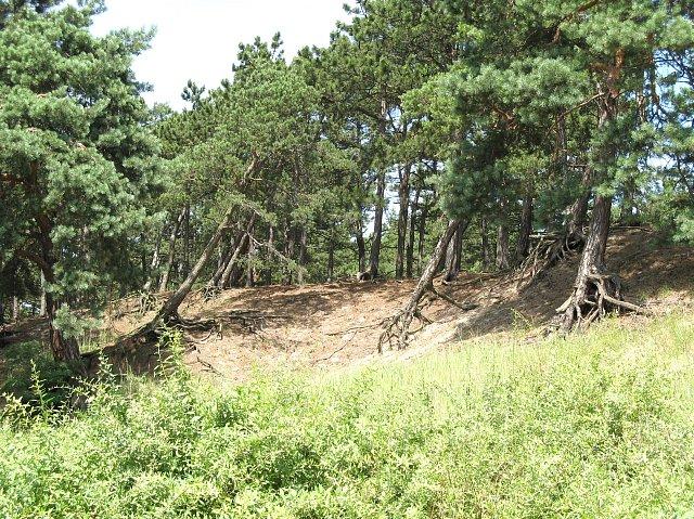 Sobieszewo - sosny na wydmach
