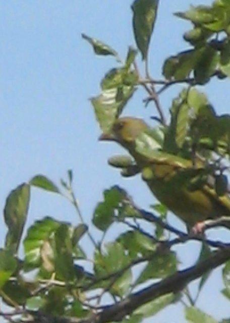 Ptasi Raj - zielony ptaszek
