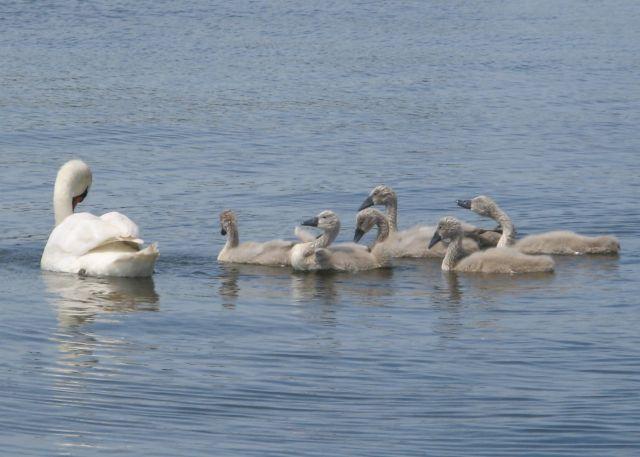 Ptasi Raj - młode łabędzie