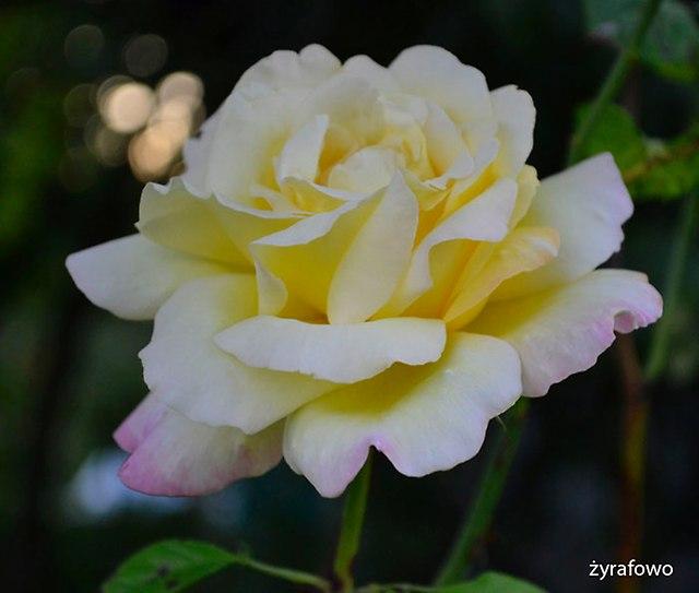 roze_06