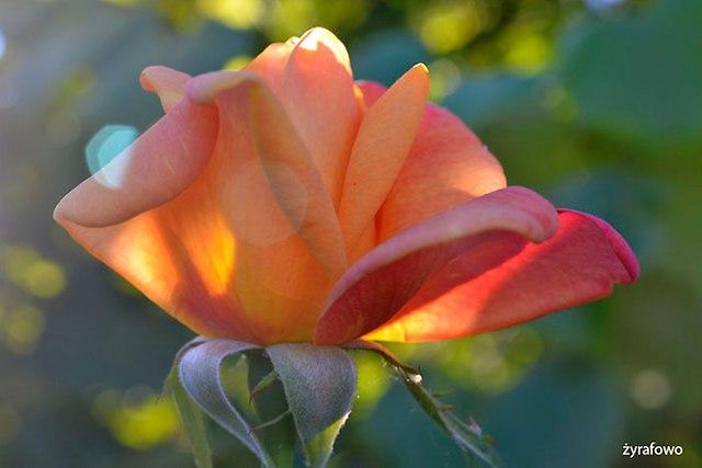roze_02